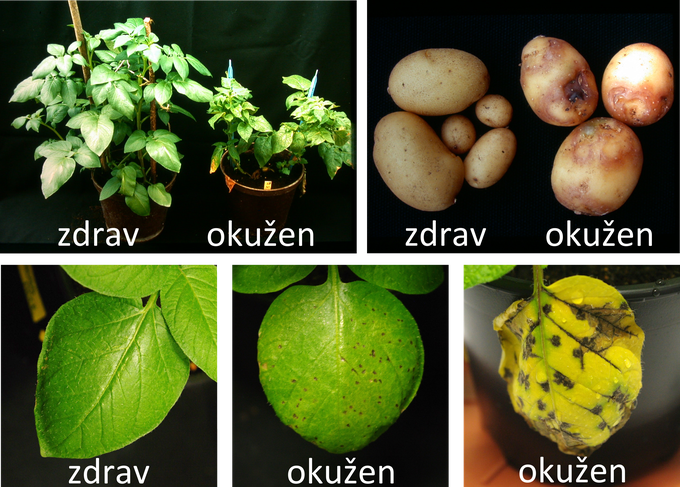 In the plant, attacked by the potato Y virus, signs of serious disease on the leaves may appear, and the producers are more affected by signs of disease in the tubers, which later are not suitable for later use.