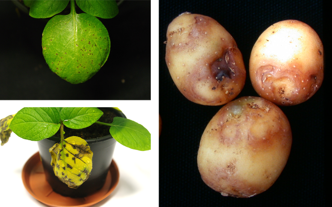 Symptoms of the potato after the infection with the potato Y virus