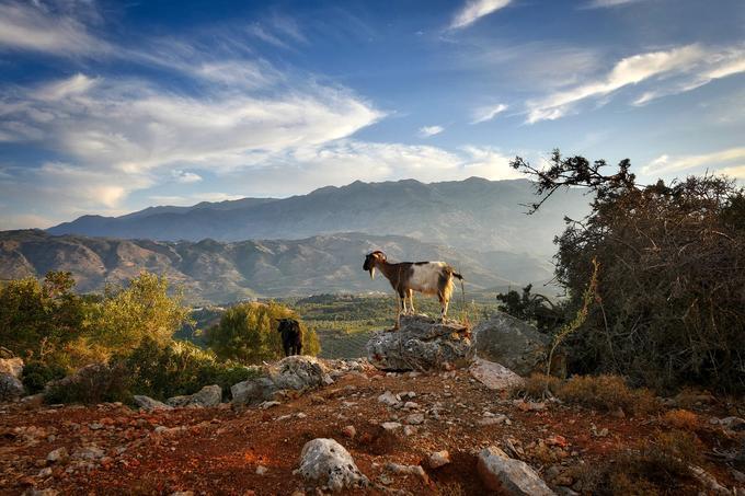 Kreta, koza