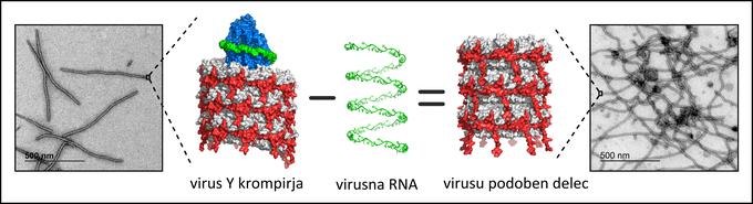 potato Y virus